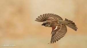 Image result for house sparrow flight drawing
