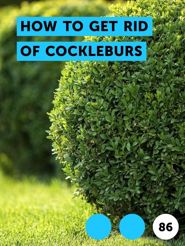 How to Get Rid of Cockleburs | Pests, Weeds & Problems
