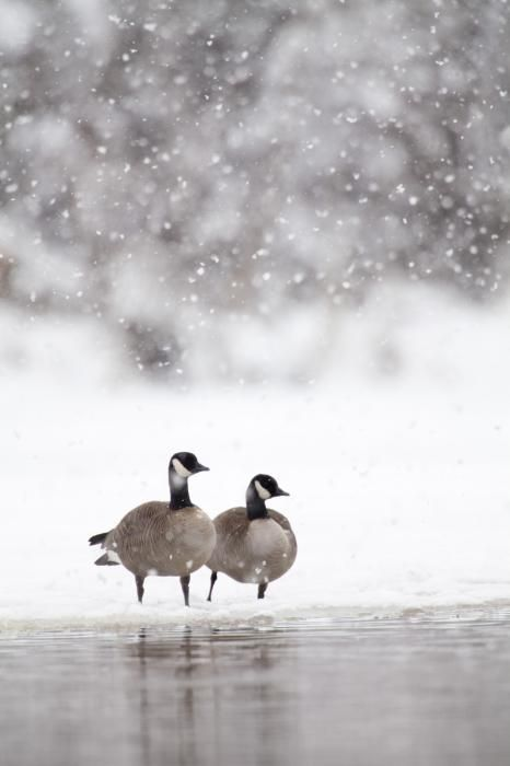 ~ Winter and the Canadian Geese ~