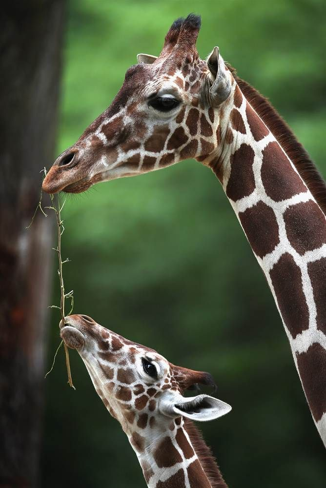 Sharing is caring                 Dave, a 7-month-old giraffe calf, grabs some food from an adult giraffe at Brookfield Zoo on July 2 in Brookfield, Illinois.