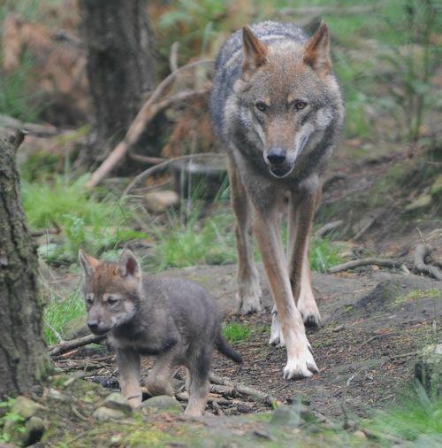 European Grey Wolf Cub: Grey Wolf, Wildlife Parks, Scotland Highlanders, Highlanders Wildlife, Grey Wolves, Baby Wolves, Alex Riddel, Baby Wolf, European Grey