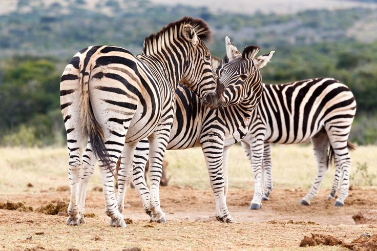 Kiss The Girl - Burchell's Zebra Kiss The Girl - Burchell's zebra is a southern subspecies of the plains zebra. It is named after the British explorer and naturalist William John Burchell.