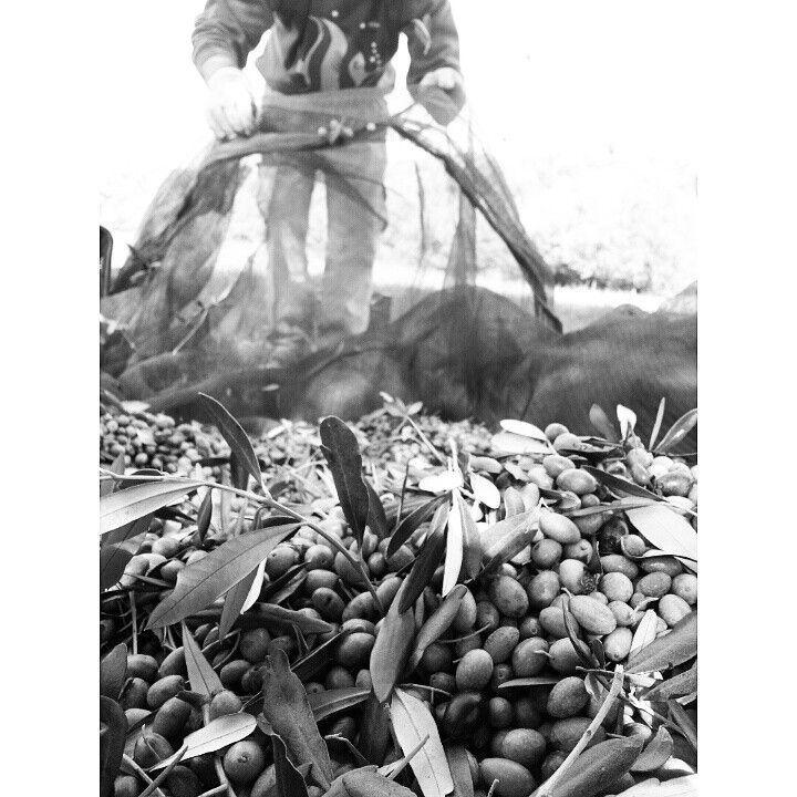 Agriturismo La Valentina in Talamone, Toscana -Raccolta delle olive #organicfarm #biologico #olio #oliobiologico #aziendabiologica #agriturismolavalentina
