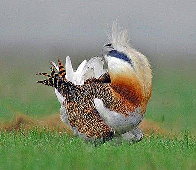Great Bustards are one of the main avian attractions of the Hortobágy, Hungary (János Oláh)