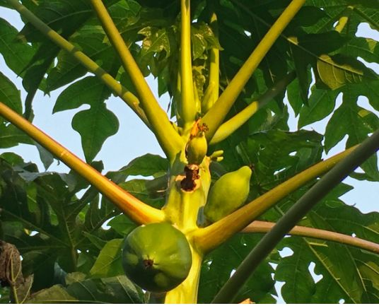How to Cure Dengue, Chikungunya, and Zika Fever With Papaya Leaf