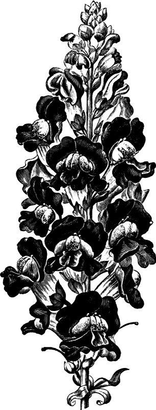 Vintage Burpee Seed Catalog Snapdragon Flower Art - Click for larger printable picture