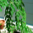 La Moringa: el árbol de la vida y sus múltiples propiedades medicinales y nutricionales