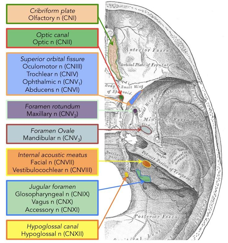 cranial nerves and foramina Development of the head and neck cranial nerves the face spinal cord and  suboccipital  located in intratemporal fossa, just below foramen ovale.