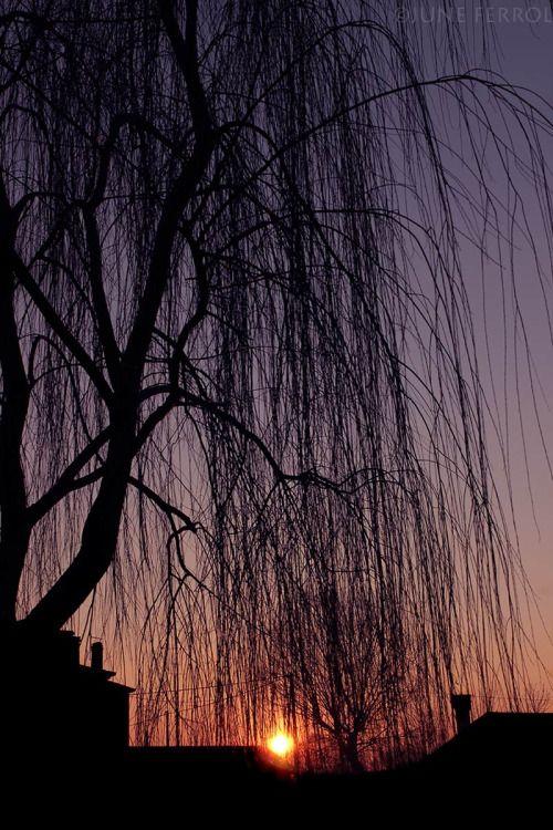 """auto-Xpression :  WEEPING 01/06/2015  Copyright © juin FERROL Tous droits réservés 500px   RedBubble - """"Saule pleureur avec vos larmes couler Pourquoi pleurez-vous toujours et froncer les sourcils? Est-ce parce qu'il vous a laissé un jour? Est-ce parce qu'il ne pouvait pas rester? Sur vos branches qu'il balancer Avez-vous longtemps pour le bonheur ce jour apporterait? Il a trouvé refuge dans votre ombre. Vous pensiez que son rire ne se effacera jamais. Saule pleureur, arrêtez vos larmes…"""