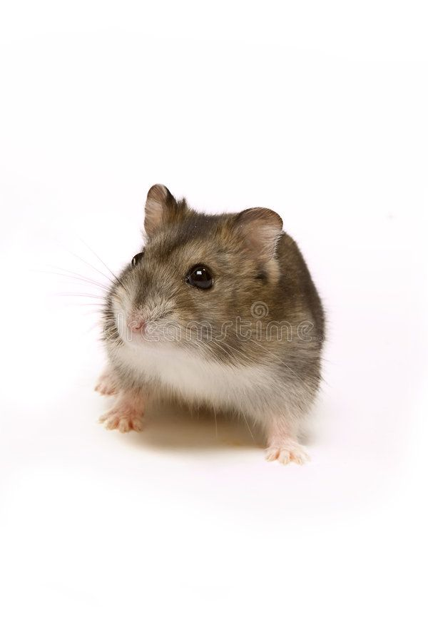 Cute Hamster Little Brown Hamster Looking Cute On A White