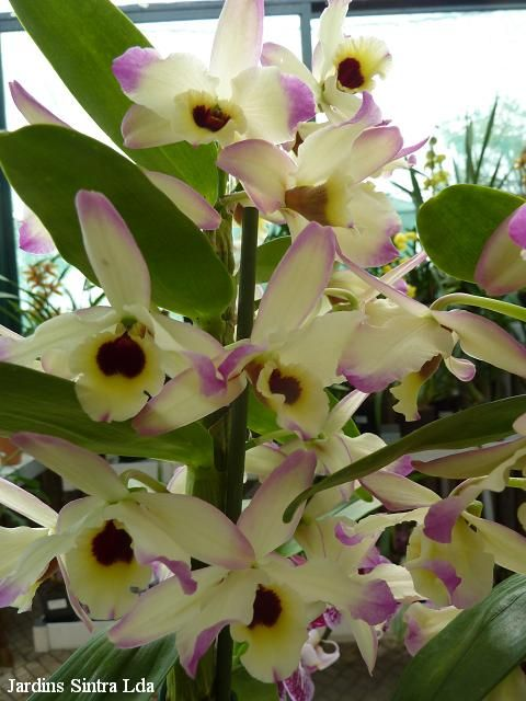 Dendrobium nobile 'Aurora'