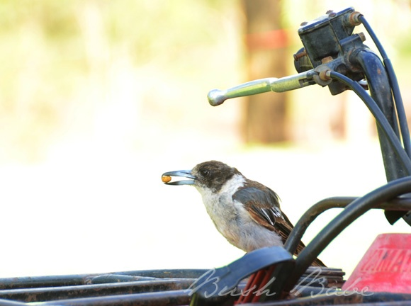 Butchervbird having breakfast on four-wheeler...