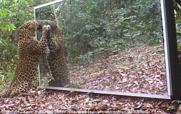 Un leopardo selvatico è innamorato della sua immagine riflessa Il fotografo Xavier Hubert-Brierre ha installato un grande specchio nella foresta pluviale del Gabon insieme a delle telecamere per documentare come si sarebbero comportati gli animali. Un grande mas #leopardo #specchio #immagine