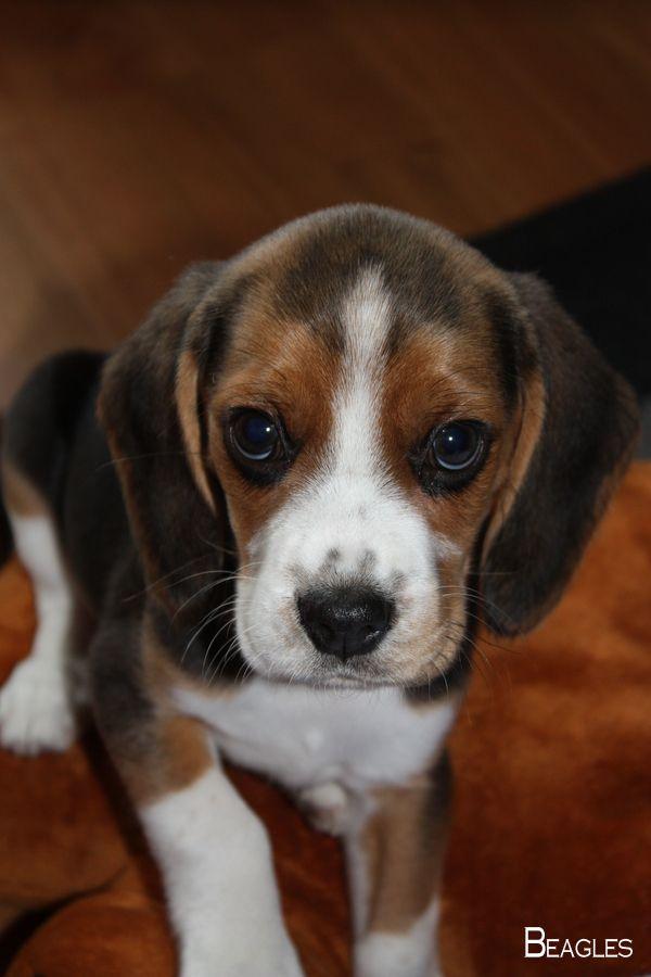 Beagles Forever Beagleloveit Beagles Facts Beagle Puppy Beagle
