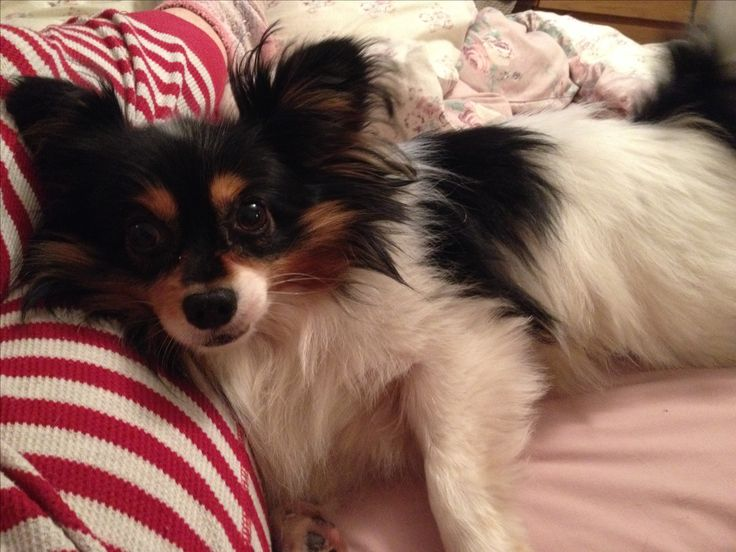 Zippy the papillon. Knows when I down, knows when I'm happy, knows how to make it all right. Knows me better than me. Best love in the world.
