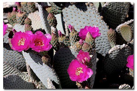 Beavertail Cactus Opuntia basilaris - DesertUSA