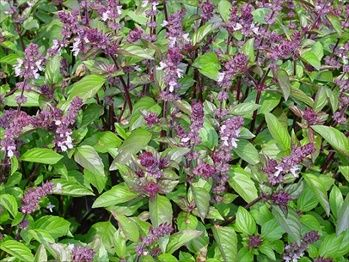 Cinnamon basil - use in teas and cooking.