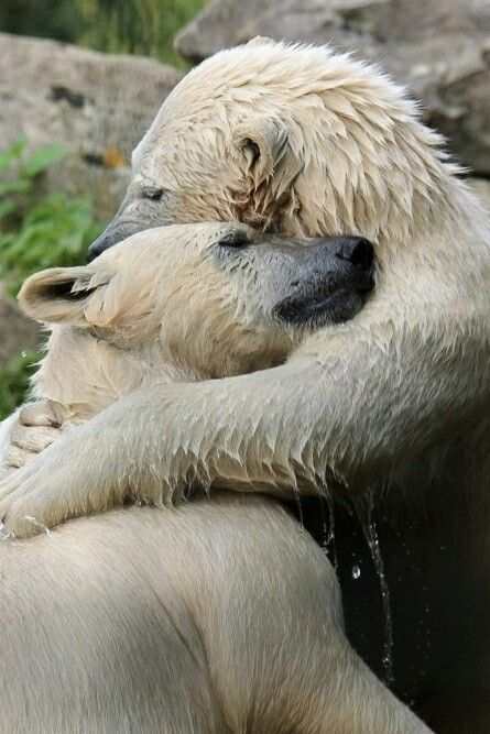 polar bears hugging
