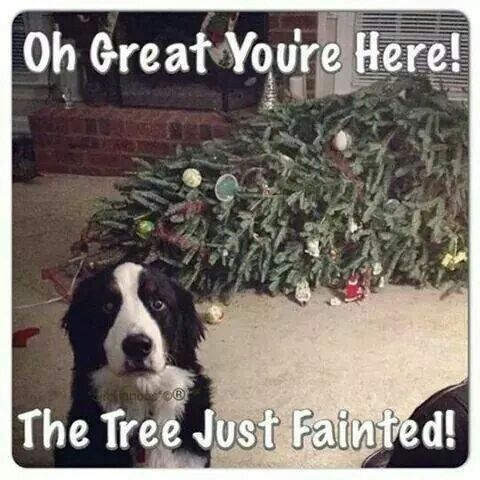 Can see our nearly one year old springer making our tree faint too... and the stockings and lights!!