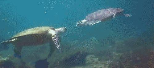 Il existe 10 animaux quasi immortels ! Incroyable ! Les tortues peuvent vivre pendant des siècles. Une tortue que Darwin a apporté en Australie a survécu jusqu'en 2006 ! Au contraire à tous les autres animaux, ses organes ne se détériorent pas avec le temps, ce qui lui garantit sa grande longévité.