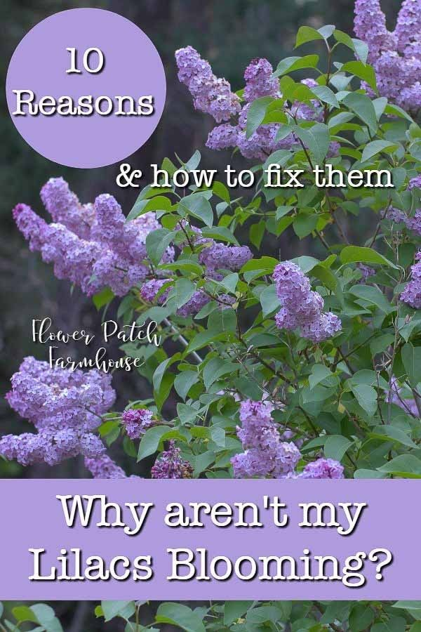 Lilac Not Blooming Fix It Lilac Plant Lilac Bushes Lilac Tree