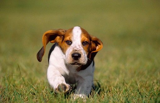 Featuring Basset Hound Puppies For Sale!