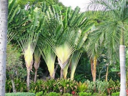 Endangered Plants of Madagascar. This tree grows to about 90feet in height, but it is not actually a palmtree. It is only found on Madagascar in what remains of the lowland forests. It gets its common name from the water that is stored at the base of the leaf stalks.