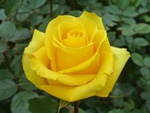 Yellow Roses. Online catalog.