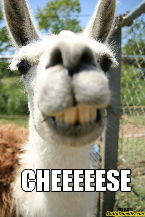 funny, funny pictures, funny photos, llama, cute, awesome, 10 Examples Why Llamas are the Coolest Animals Ever