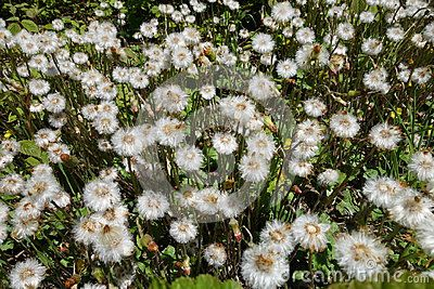 A lot of white dandelions