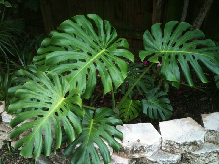 17 best images about philodendron on pinterest elephant ears k on and world. Black Bedroom Furniture Sets. Home Design Ideas
