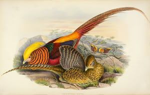 Thaumalea Picta - Golden Pheasant
