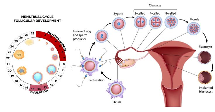 Women are most fertile during ovulation & 2-3 days after it. Ovulation occurs halfway through your menstrual cycle, between days 10-16 before menstruation.