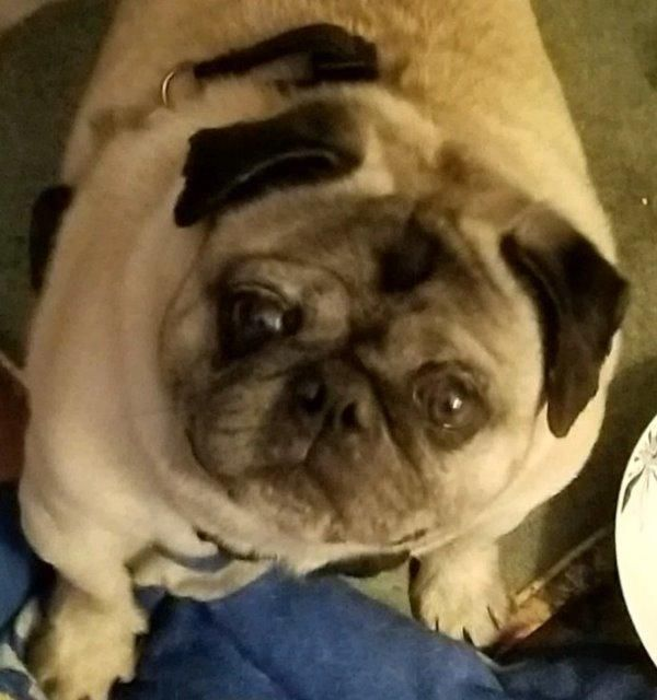 Adopt Drummond On Pet Search Pugs Pet Care Tips