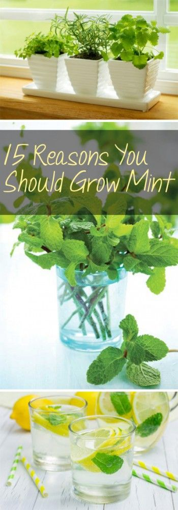 Mint, how to grow mint, mint growing tips, mint growing hacks, popular pin, growing mint, gardening, gardening hacks, gardening DIY, herbal remedies, natural remedies.
