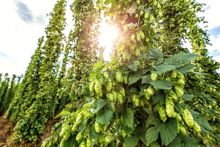 Over the past few years, tasty experiments with hops and hop hash have been showing up on local brewery shelves.