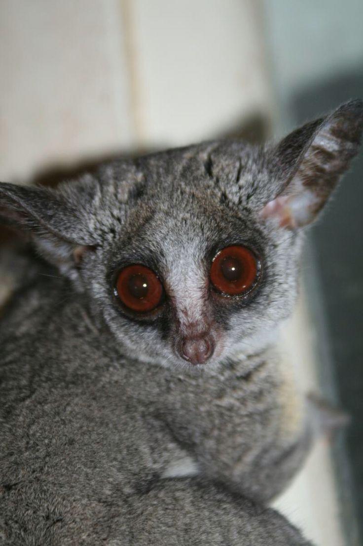 Lesser bush baby or galago