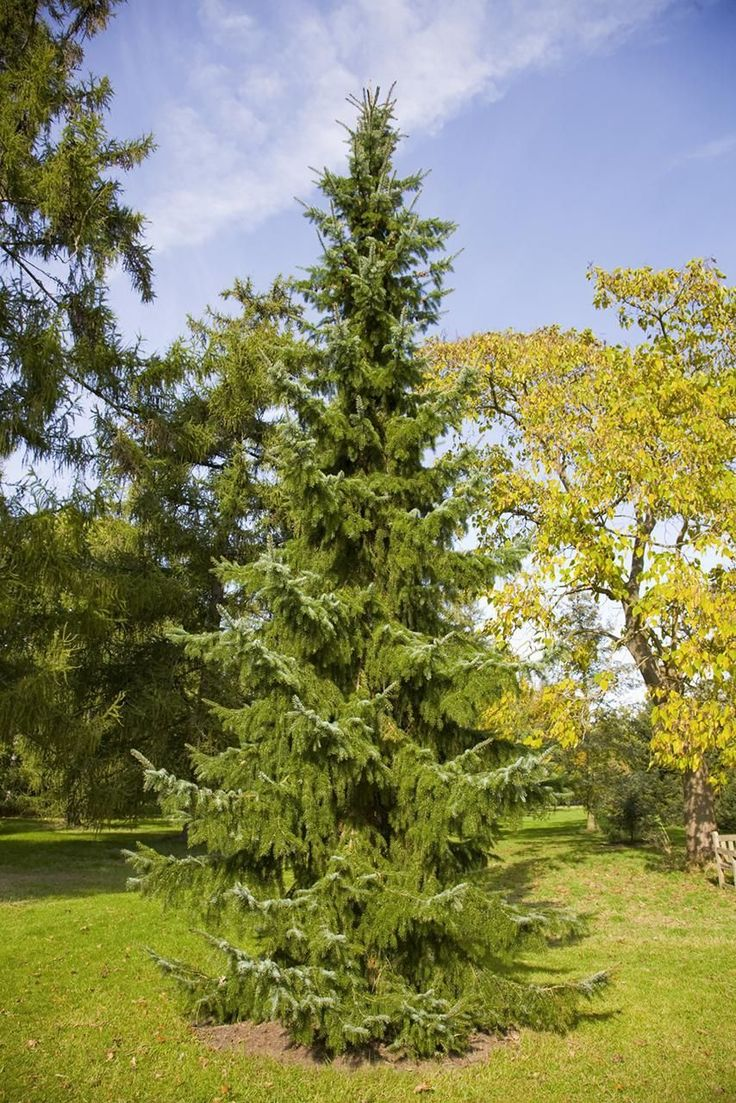 For a conical evergreen that doesn't require pruning, choose the Serbian spruce (Picea omorika). It does well in urban conditions.