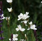 Libertia grandiflora Reliable and long-lived perennial which provides attractive vertical accents to a planting. Sword like leaves encircle slender wiry stems. Simple pure white flowers open progressively up each stem to culminate in a fine airy show.