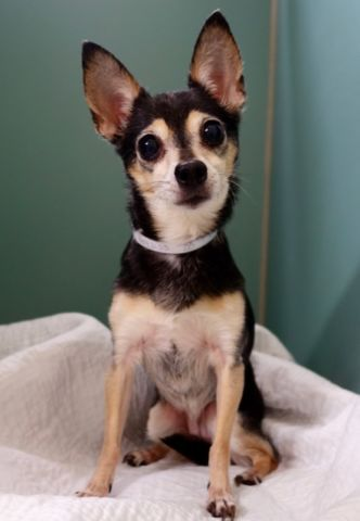 """KITTY - A1093133 - - Manhattan  Please Share:TO BE DESTROYED 10/16/16 **NEEDS A NEW HOPE RESCUE TO PULL** Kitty is a 12 year old black and white chi turned over to the ACC's """"care"""" for a new baby. Poor Kitty can't catch a break. Her previous owner had passed leaving her to the people who ultimately betrayed their promise by surrendering her. They had claimed that she had bitten the owner once during the excitement of a delivery person at their home."""