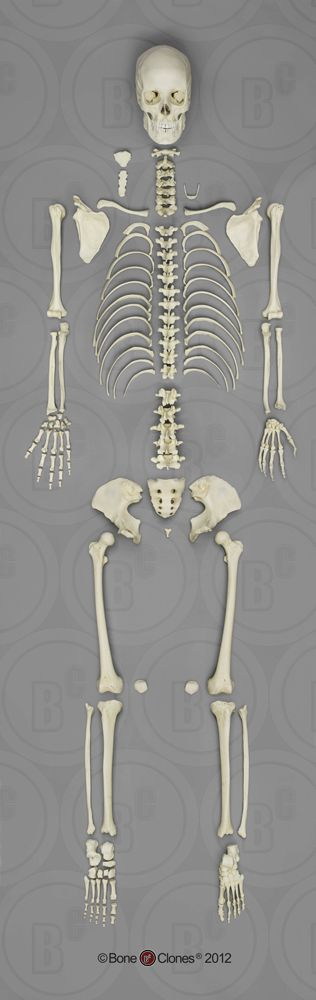 Human Female European Disarticulated Skeleton