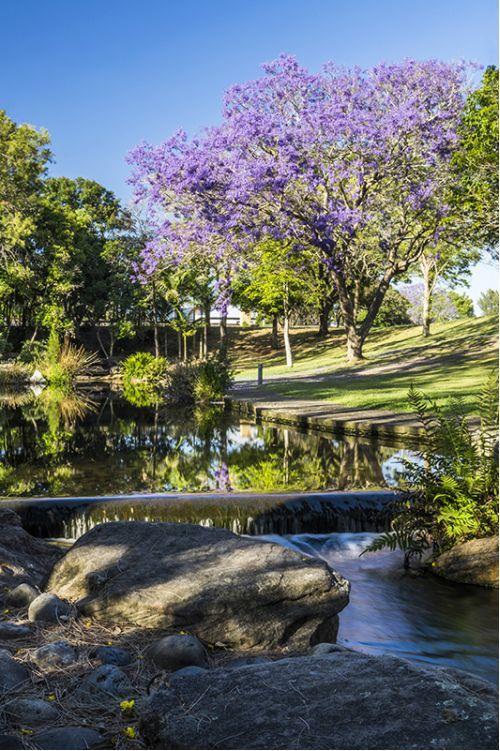 Morning Jacaranda Sydney from $34.99 | www.wallartprints.com.au #SydneyPhotos #AustralianLandscapePhotography