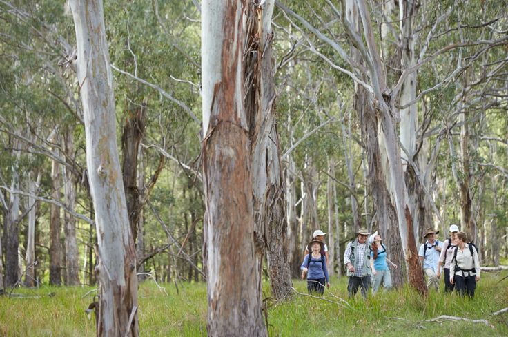 Eucalyptus Forest within the Spicers Scenic Rim Trail
