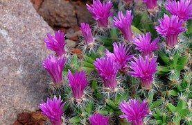 Cactus, Bloem, Cactusbloem, Planten