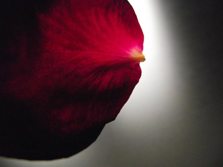 Close up of a rose petal.