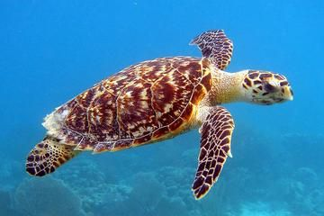 Go swimming with the turtles in the Barbados waters! Take a short stroll from the cruise ship dock to join this tour.