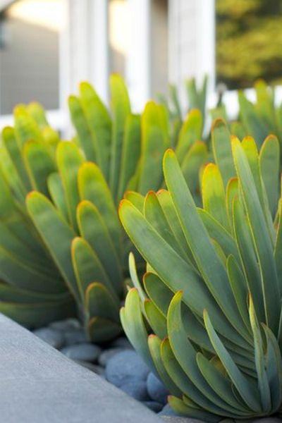 Aloe Plicatilis / Fan Aloe