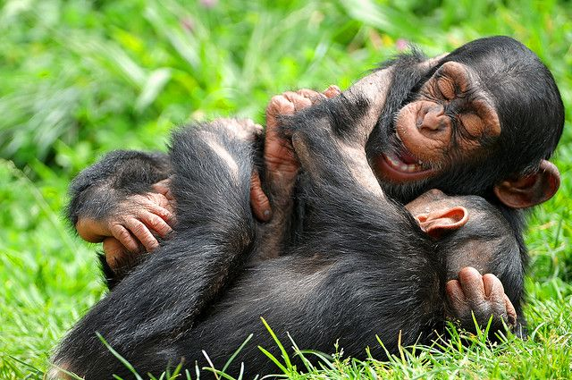 Playing together | Monkeys, chimps, etc. | Pinterest