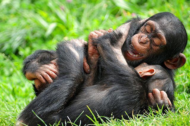Playing together | Monkeys, chimps, etc. | Pinterest
