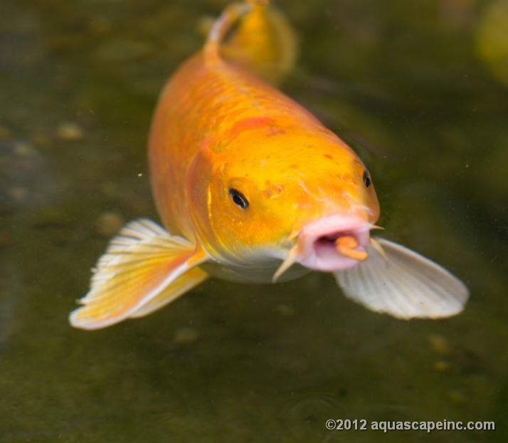 54 best images about pond fish on pinterest japanese koi for Japanese carp fish